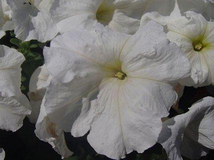 FOTKA - petúnie v bielom šate