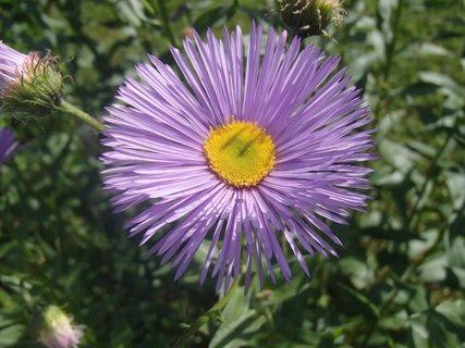 FOTKA - s pichľavými fialovými lupienkami