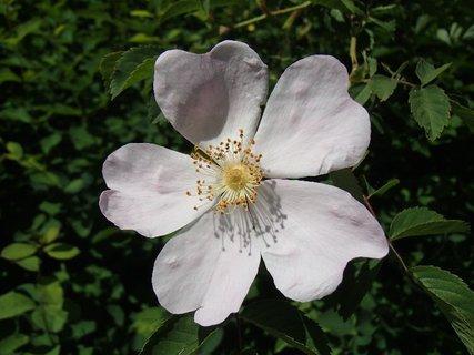 FOTKA - zaujal ma tieň tyčiniek a piestikov na lupienkoch planej ruže