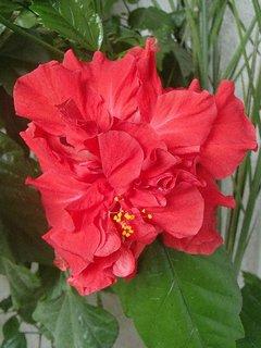 FOTKA - plnokvetá čínska ruža