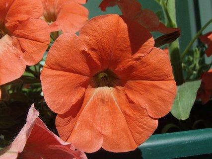 FOTKA - oranžová petúnia