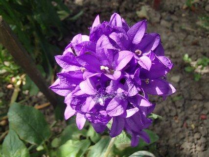 FOTKA - fialové zvončeky