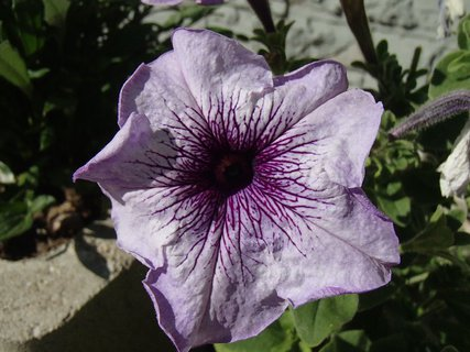 FOTKA - fialková petúnia