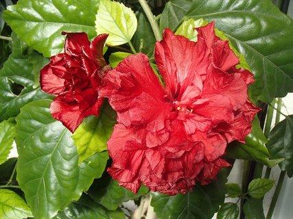 FOTKA - čínska ruža vykvitla