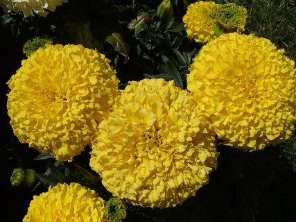 FOTKA - veľké žlté hlavičky