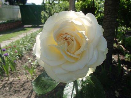 FOTKA - smotanová ruža v polotieni