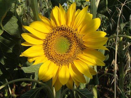 FOTKA - hlavička slnečnice