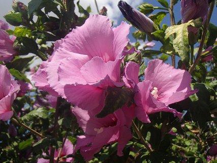 FOTKA - ibištey kvitnú