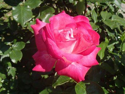 FOTKA - osamotená ružová
