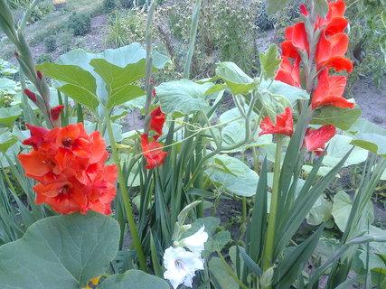 FOTKA - Gladioly spolu s dyní hokajdo