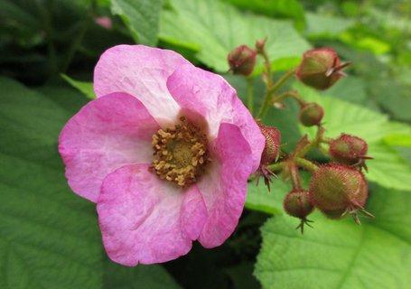 FOTKA - ruzovoucky kvet