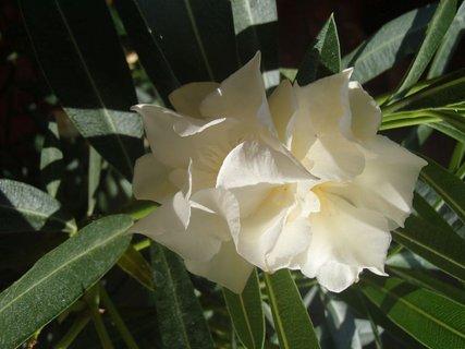 FOTKA - kvietky krémového oleandra