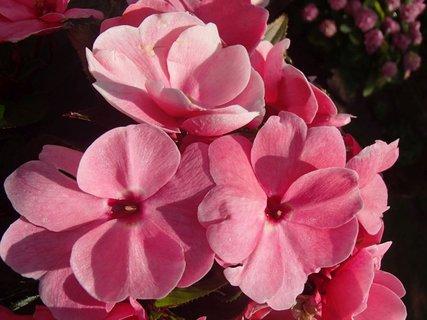 FOTKA - letné ružové kvietky