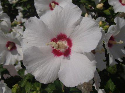 FOTKA - biely ibištek kvitne