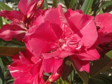 FOTKA - ružové oleandre