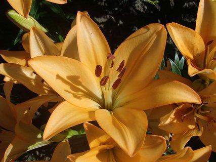 FOTKA - kvet oranžovej ľalie
