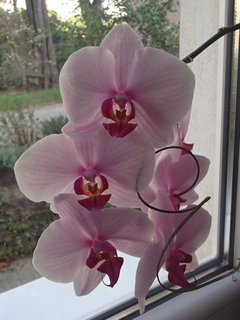 FOTKA - orchidejka pri okne