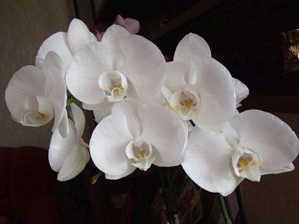 FOTKA - biela orchidea mi kvitne už tretí mesiac