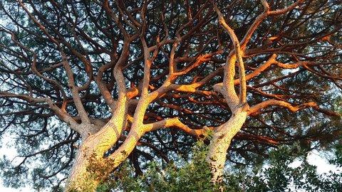 FOTKA - Barvy zapadajícího slunce v koruně pinii
