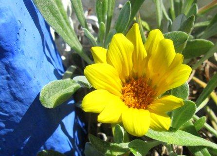 FOTKA - Vzpomínky na dovolenou.. žlutá gazánie u modré zdi