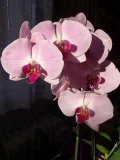 FOTKA - prekrývajúce sa kvietky orchidejky
