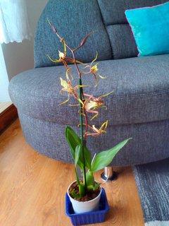 FOTKA - Orchidejk