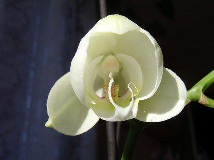 FOTKA - rozvíjajúca sa orchidea
