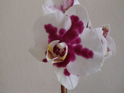 FOTKA - biela orchidea s fliačikmi