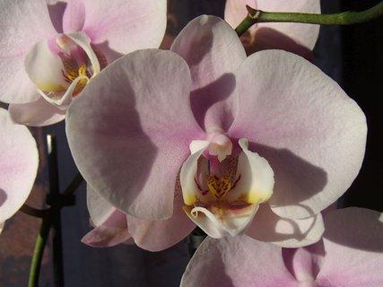 FOTKA - orchidea s ružovým nádychom