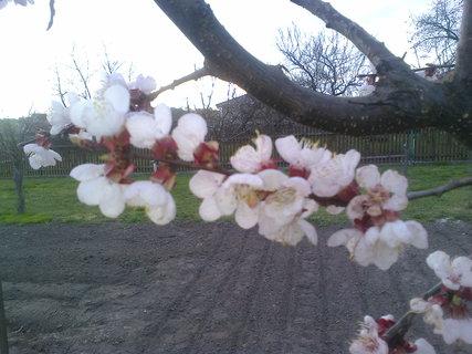 FOTKA - květy meruněk