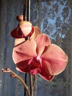 FOTKA - rozkvitá orchidea