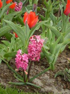 FOTKA - Červené tulipány