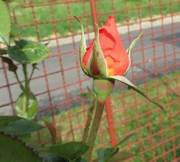 FOTKA - Poupě, růžičky,,