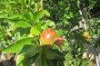 granát. jablíčka