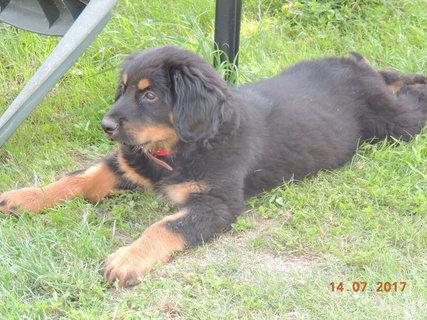 FOTKA - Už jsem velké štěně- 13.7. mi bylo 10. týdnů