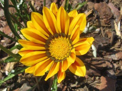 FOTKA - gazánie..žlutá
