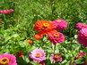 Květ zinie v barvě červené