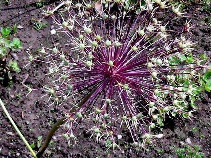 FOTKA -  květ česneku