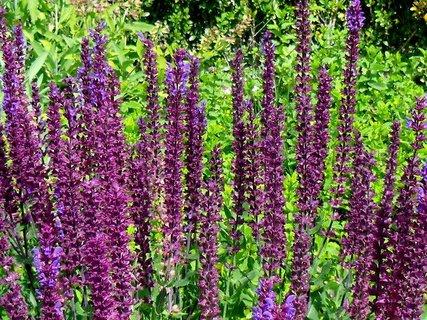 FOTKA - květy šalvěje