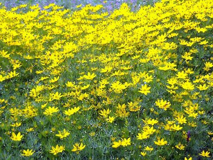 FOTKA - žlutý koberec - z krásnoočka