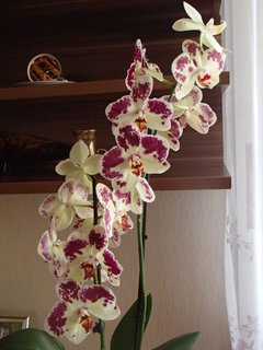 FOTKA - kvietky novej orchidejky