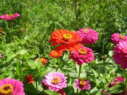 FOTKA - Květ zinie v barvě červené