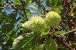kaštánky na stromě