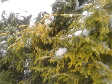 FOTKA - smrk,sníh,