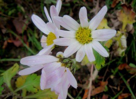 FOTKA - včera na zahradě vyfoceno..chryzantémy