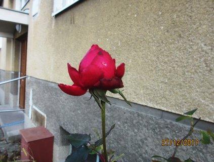 FOTKA - ze včerejší procházky..růžička