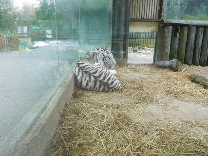 FOTKA - Druhé z tygřích koťat