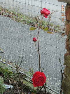 FOTKA - Kvetoucí růže na konci prosince