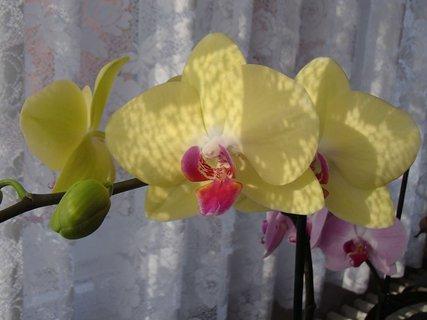 FOTKA - tieň záclony na kvietkoch orchidei