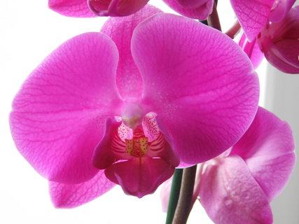 FOTKA - orchidej růžová
